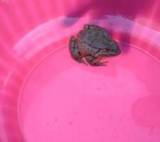 On retrouve des bestioles dans le fond de la vase. Ici une grenouille qui rejoindra un cours d'eau (la mosson)
