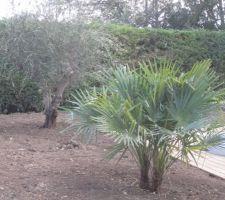 Bon on attaque le jardin, plantation de l'olivier et palmier
