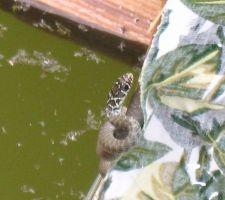 Une couleuvre dans l'eau